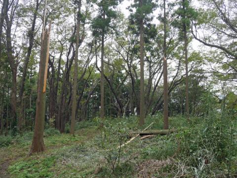 六国見山森林公園でスギの中折れが多発9・30台風24号被害①_c0014967_08502321.jpg