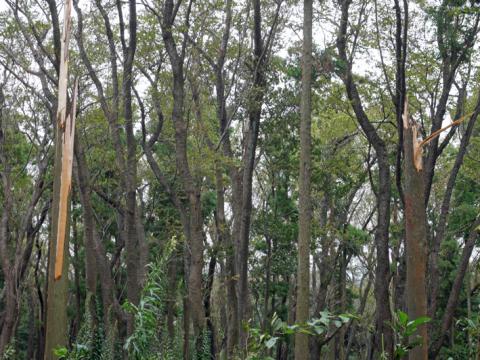 六国見山森林公園でスギの中折れが多発9・30台風24号被害①_c0014967_08504630.jpg