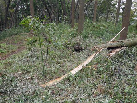 六国見山森林公園でスギの中折れが多発9・30台風24号被害①_c0014967_08521661.jpg