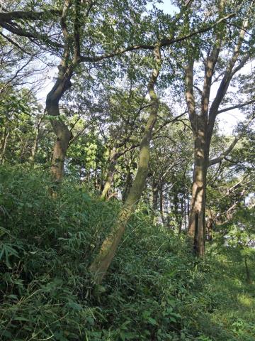 六国見山森林公園でスギの中折れが多発9・30台風24号被害①_c0014967_08523769.jpg