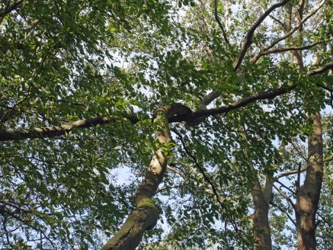 六国見山森林公園でスギの中折れが多発9・30台風24号被害①_c0014967_08525783.jpg
