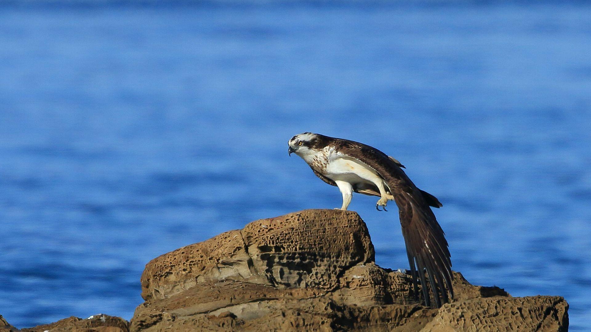 岩の上でミサゴが羽根を伸ばす_f0105570_21033702.jpg
