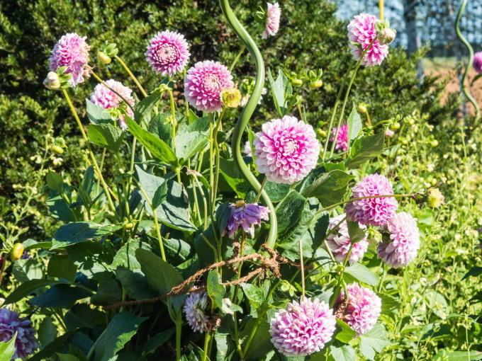 収穫の秋「じんぎすかん白樺」とハロウィンの「紫竹ガーデン」_f0276498_00214413.jpg