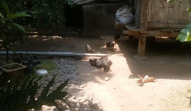 バリ島の田舎の生活(その2;豚と牛と鶏と果実)_d0083068_12530894.jpg
