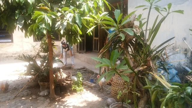 バリ島の田舎の生活(その2;豚と牛と鶏と果実)_d0083068_12542725.jpg
