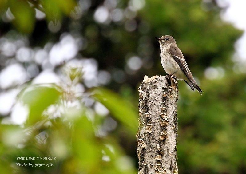 エゾビタキは秋に多く渡来する旅鳥_b0346933_16482469.jpg
