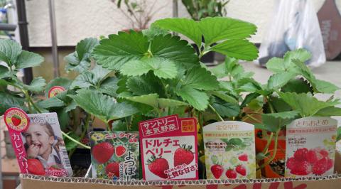 カレンベリーなどイチゴ苗5種類、10本植えつけ10・4_c0014967_12193225.jpg