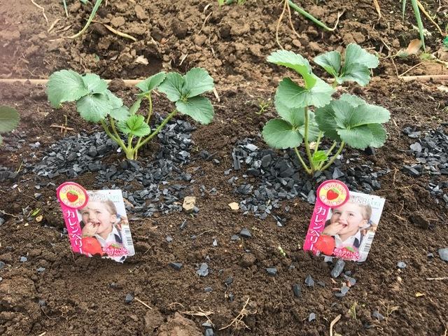 カレンベリーなどイチゴ苗5種類、10本植えつけ10・4_c0014967_12194961.jpg