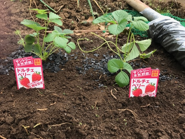 カレンベリーなどイチゴ苗5種類、10本植えつけ10・4_c0014967_12200422.jpg