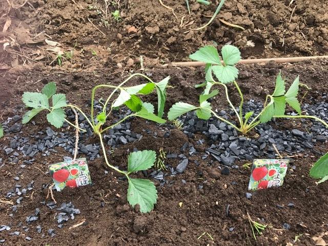 カレンベリーなどイチゴ苗5種類、10本植えつけ10・4_c0014967_12202068.jpg