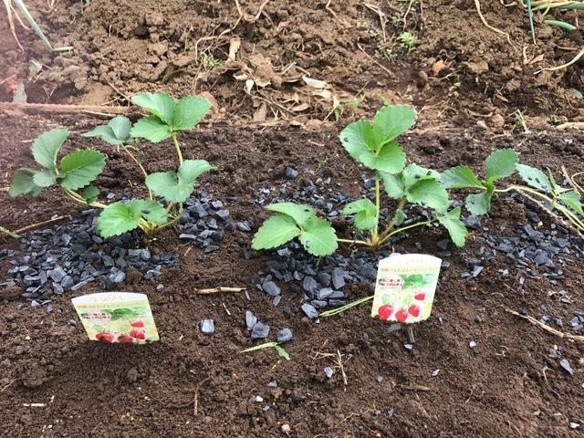 カレンベリーなどイチゴ苗5種類、10本植えつけ10・4_c0014967_12203269.jpg