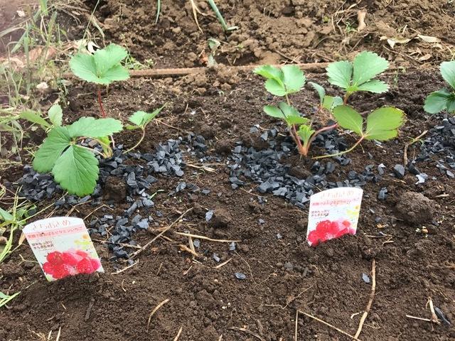 カレンベリーなどイチゴ苗5種類、10本植えつけ10・4_c0014967_12204401.jpg