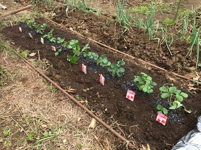 カレンベリーなどイチゴ苗5種類、10本植えつけ10・4_c0014967_12214249.jpg