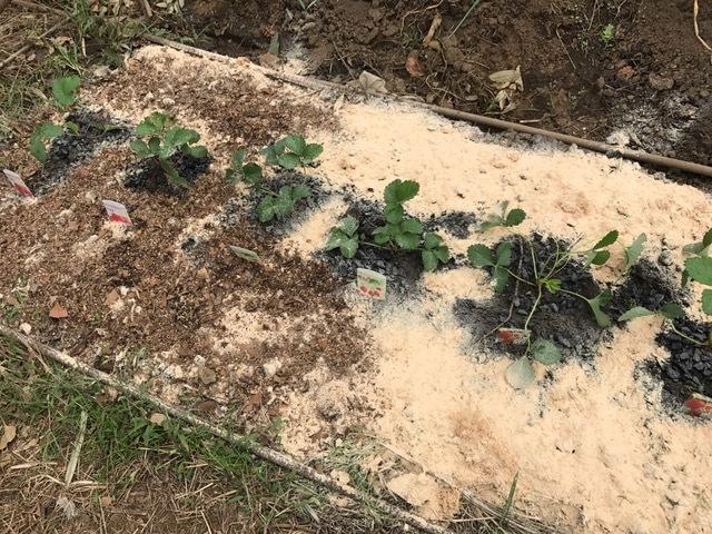 カレンベリーなどイチゴ苗5種類、10本植えつけ10・4_c0014967_12221007.jpg