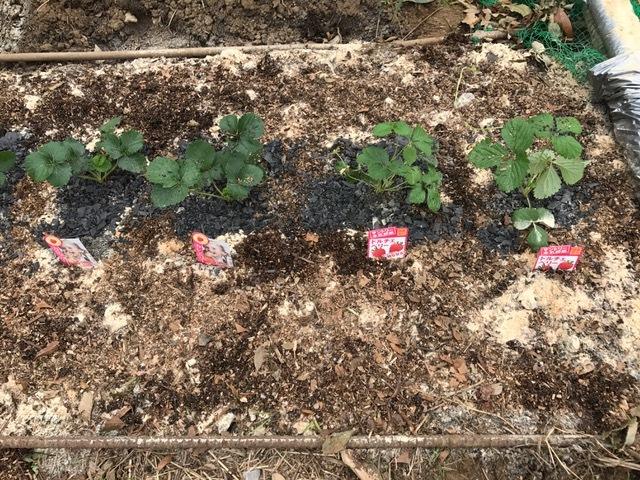 カレンベリーなどイチゴ苗5種類、10本植えつけ10・4_c0014967_12222384.jpg
