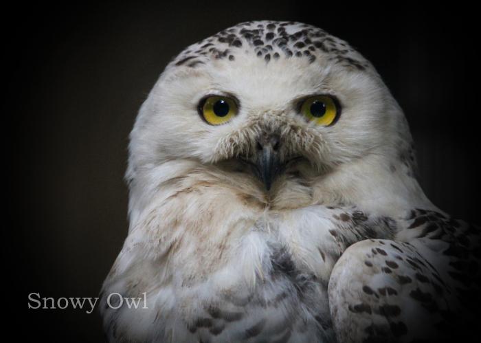 シロフクロウ:Snowy Owl_b0249597_18572092.jpg