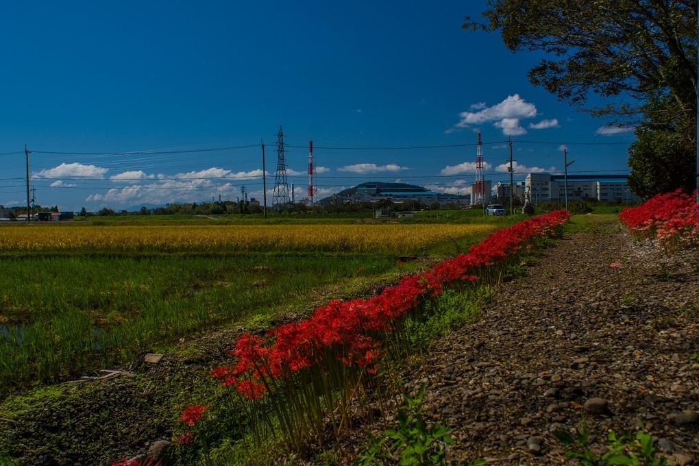 日吉神社(湖北町)~彼岸花_e0363038_23533550.jpg