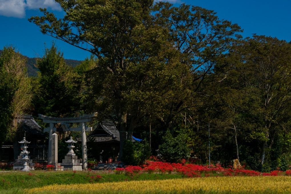 日吉神社(湖北町)~彼岸花_e0363038_23541264.jpg