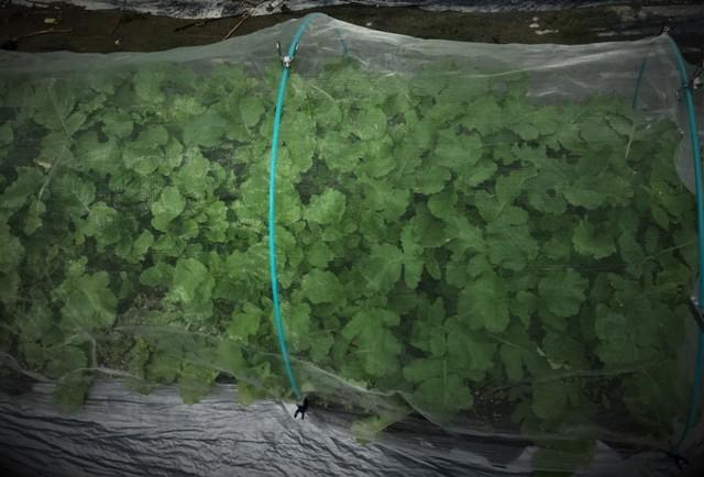 北摂の10月の家庭菜園~♬_f0229190_15244549.jpg