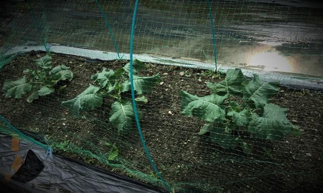 北摂の10月の家庭菜園~♬_f0229190_15271951.jpg