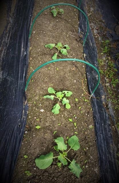 北摂の10月の家庭菜園~♬_f0229190_15280439.jpg