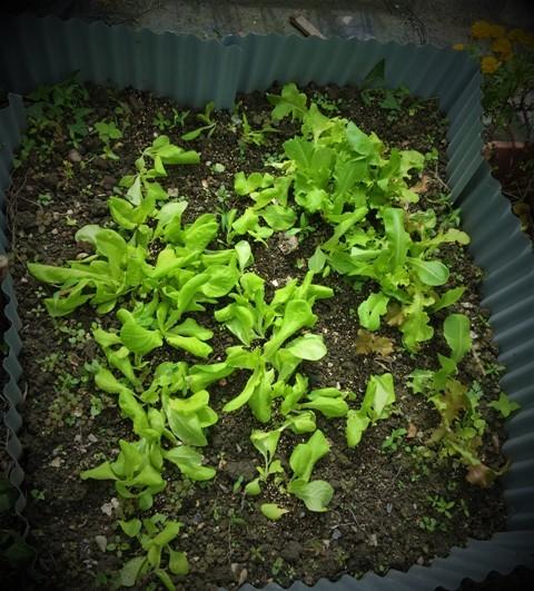 北摂の10月の家庭菜園~♬_f0229190_15305460.jpg