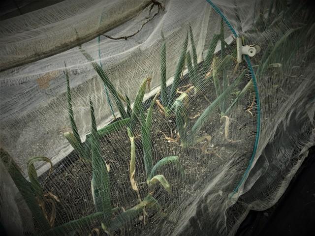 北摂の10月の家庭菜園~♬_f0229190_15370940.jpg