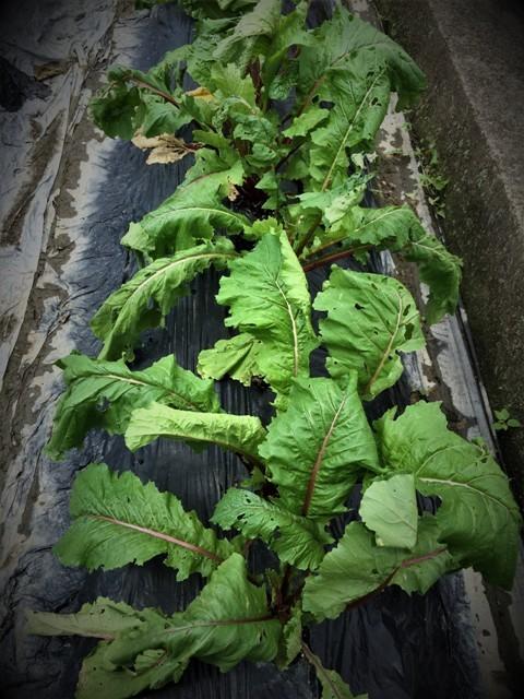 北摂の10月の家庭菜園~♬_f0229190_15391416.jpg