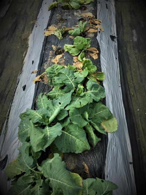 北摂の10月の家庭菜園~♬_f0229190_15401836.jpg