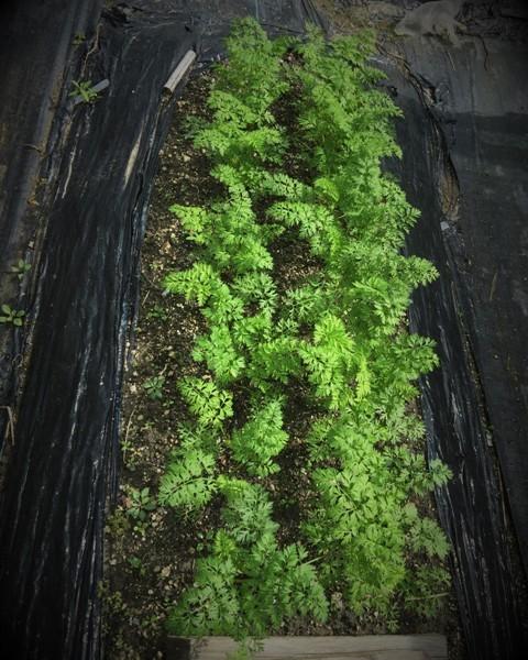 北摂の10月の家庭菜園~♬_f0229190_15421167.jpg