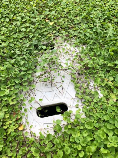 グランドカバーにダイコンドラを植えて半年。_e0074251_11452516.jpg
