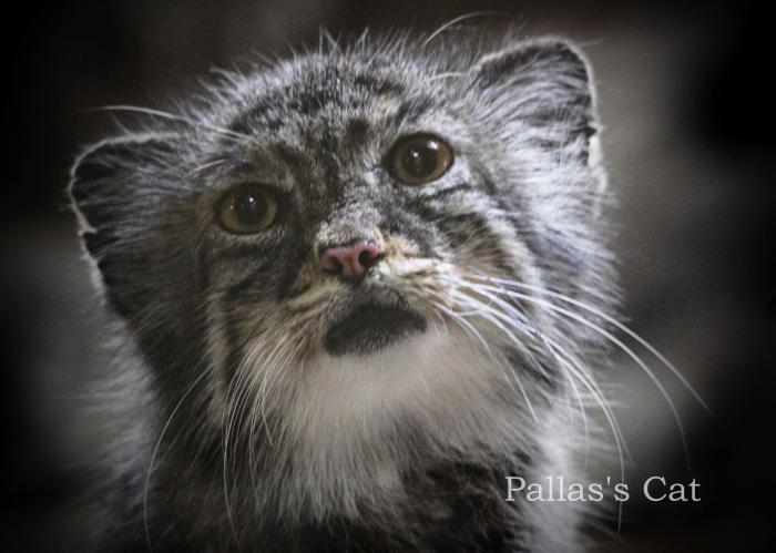 マヌルネコ:Pallas\'s Cat _b0249597_19565338.jpg