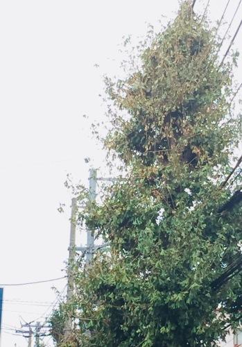青葉台の塩害 (台風24号被害)_e0356016_12152955.jpeg