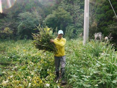 平成30年産『白エゴマ』の収穫の様子(前編:エゴマの栽培は収穫とその後の作業が大変なんです!)_a0254656_17460047.jpg