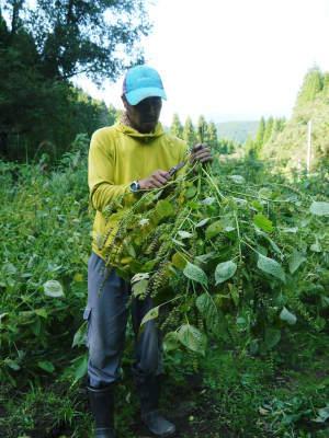 平成30年産『白エゴマ』の収穫の様子(前編:エゴマの栽培は収穫とその後の作業が大変なんです!)_a0254656_17581360.jpg