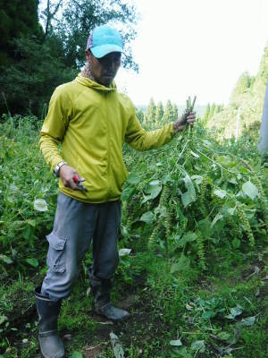 平成30年産『白エゴマ』の収穫の様子(前編:エゴマの栽培は収穫とその後の作業が大変なんです!)_a0254656_19030347.jpg