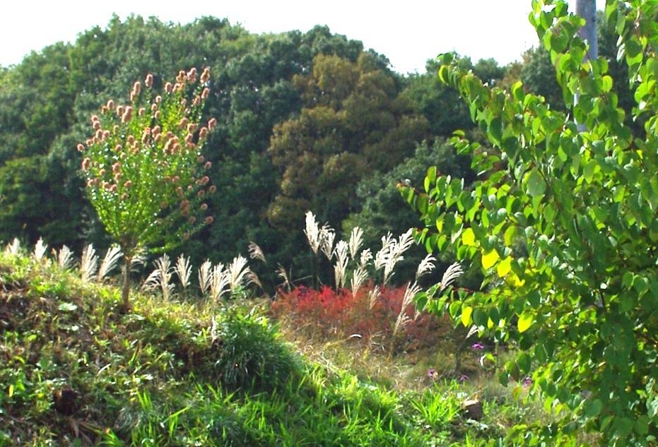 庭のススキと紅葉_c0110869_13100226.jpg