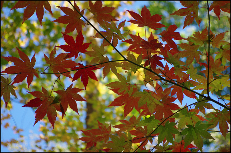紅葉とアカゲラ_b0019313_17125294.jpg