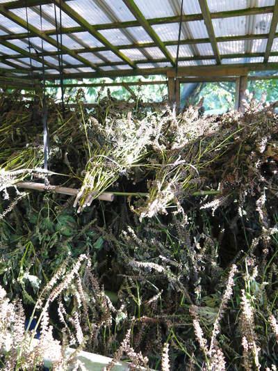 平成30年産『白エゴマ』の収穫の様子(後編:今年も無農薬、無化学肥料栽培&収穫前の台風の被害)_a0254656_17042122.jpg