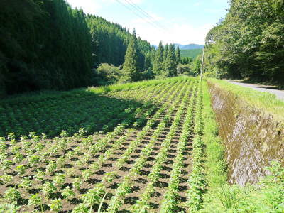 平成30年産『白エゴマ』の収穫の様子(後編:今年も無農薬、無化学肥料栽培&収穫前の台風の被害)_a0254656_17212702.jpg