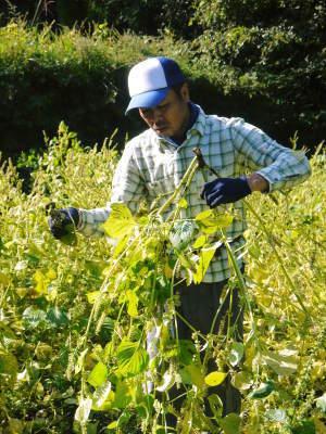 平成30年産『白エゴマ』の収穫の様子(後編:今年も無農薬、無化学肥料栽培&収穫前の台風の被害)_a0254656_17263938.jpg