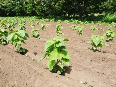 平成30年産『白エゴマ』の収穫の様子(後編:今年も無農薬、無化学肥料栽培&収穫前の台風の被害)_a0254656_17355443.jpg