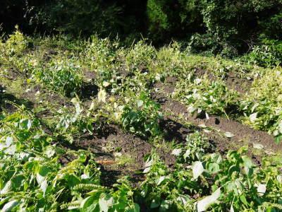 平成30年産『白エゴマ』の収穫の様子(後編:今年も無農薬、無化学肥料栽培&収穫前の台風の被害)_a0254656_17473433.jpg