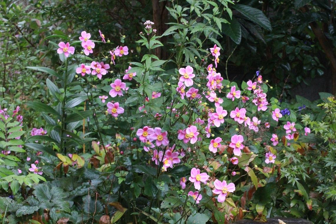 ボサボサに咲く ~ピンクのシュウメイギク~_a0107574_17343036.jpg
