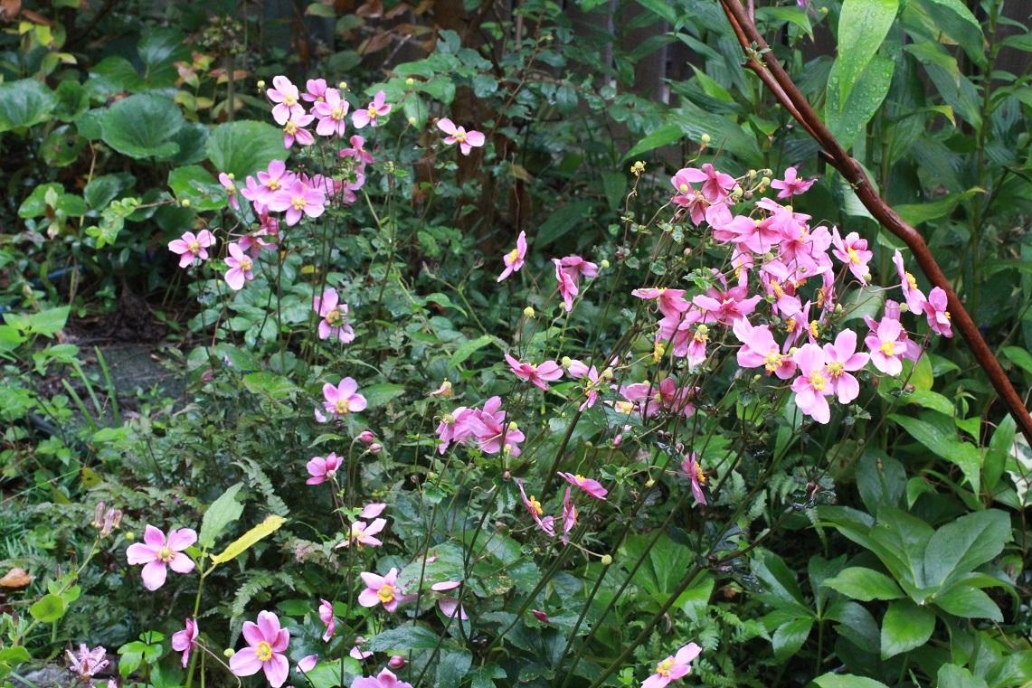 ボサボサに咲く ~ピンクのシュウメイギク~_a0107574_17343854.jpg