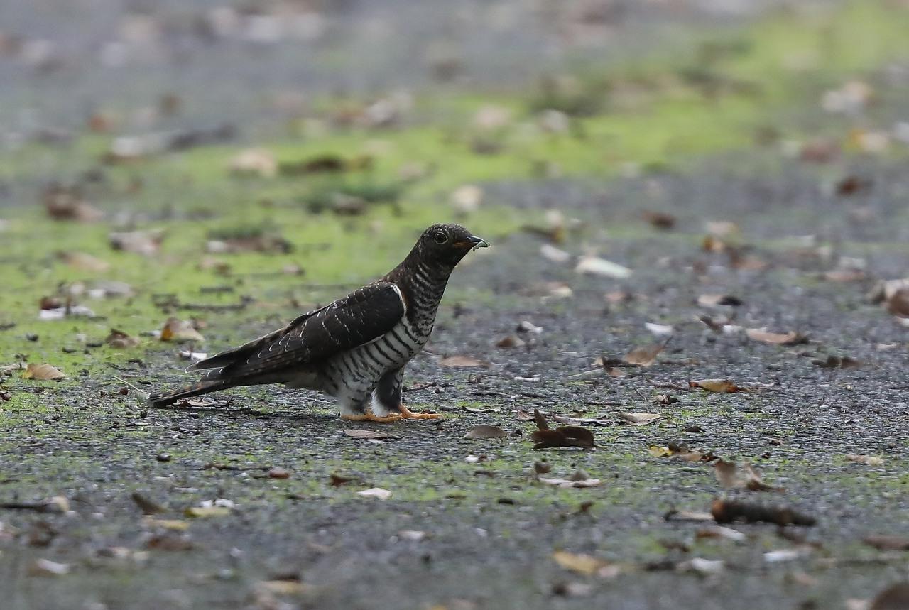 カッコウの幼鳥_f0296999_15501546.jpg