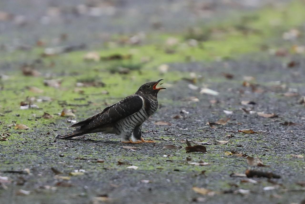 カッコウの幼鳥_f0296999_15502235.jpg
