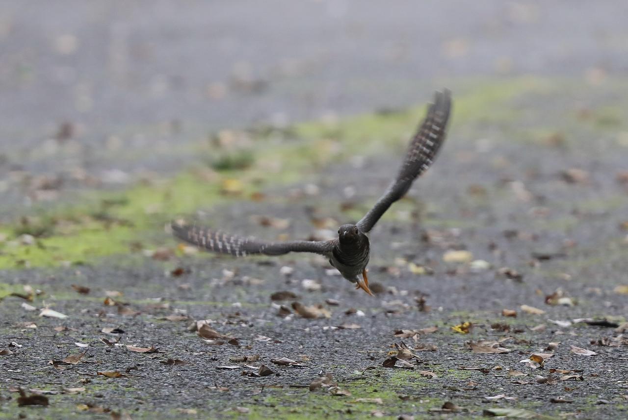 カッコウの幼鳥_f0296999_15502737.jpg