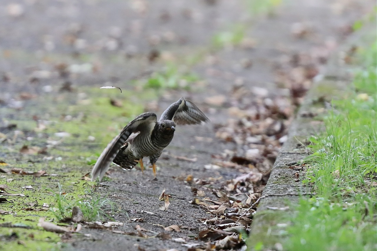 カッコウの幼鳥_f0296999_15503319.jpg