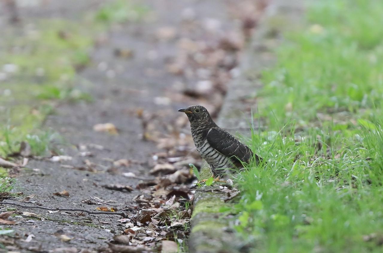 カッコウの幼鳥_f0296999_15505002.jpg
